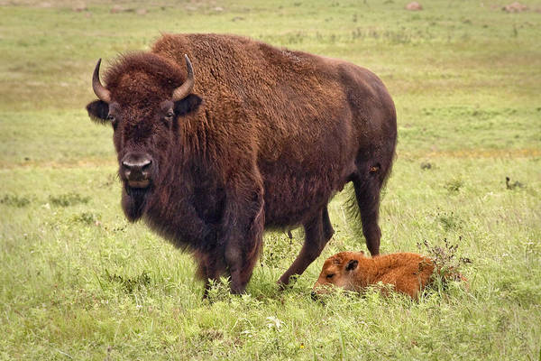 Buffalo Poster featuring the photograph Mama Watching Over Baby by Tamyra Ayles