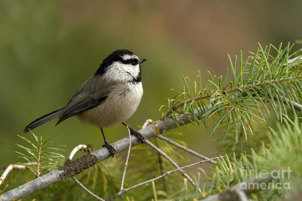 Mountain Poster featuring the photograph Mountain Chickadee by Beve Brown-Clark Photography
