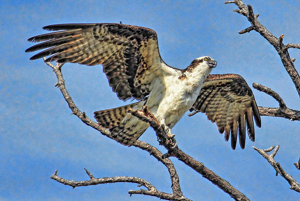 Osprey Poster featuring the photograph Osprey Wing Stretch by HH Photography of Florida