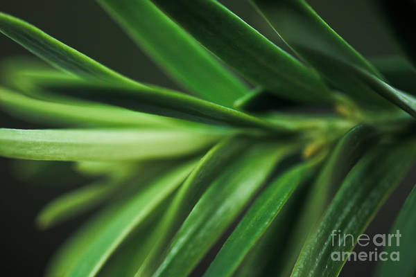 ryankellyphotography@gmail.com Poster featuring the photograph Pine Needles by Ryan Kelly