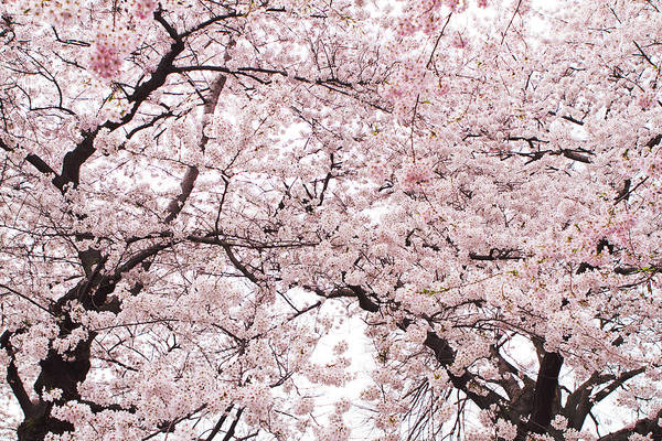 Cherry Blossom Poster featuring the photograph Pink Cherry Blossom Tree by Ariane Moshayedi