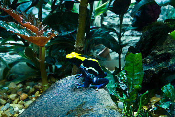 Poison Poster featuring the photograph Poison Dart Frog Poised For Leap by Douglas Barnett