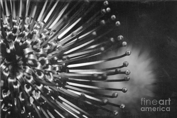 Pincushion Protea Poster featuring the photograph Possibility Is The Secret Heart Of Time by Sharon Mau