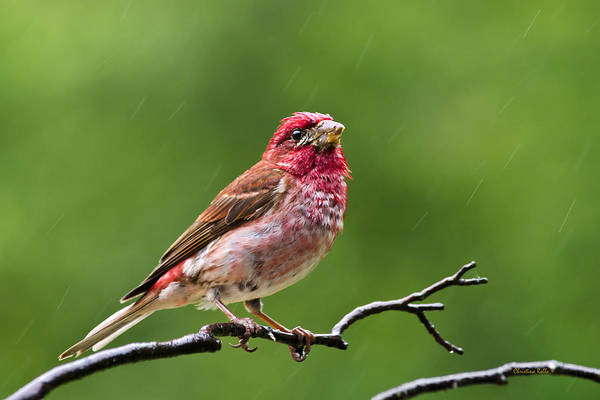 Bird Poster featuring the photograph Rainy Day Bird - Purple Finch by Christina Rollo