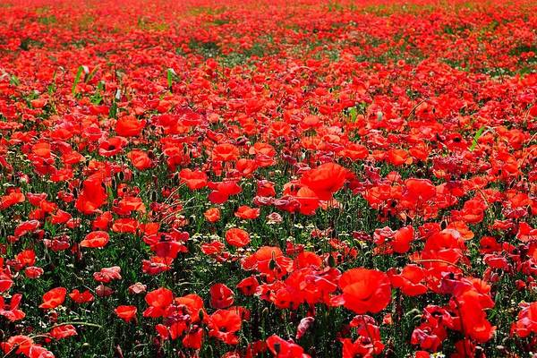 Flower Poster featuring the photograph Red Poppies by Juergen Weiss