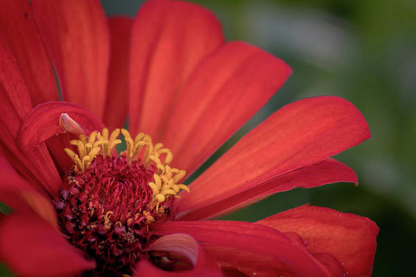 Flower Poster featuring the photograph Red Zina by Laura Pettigrew