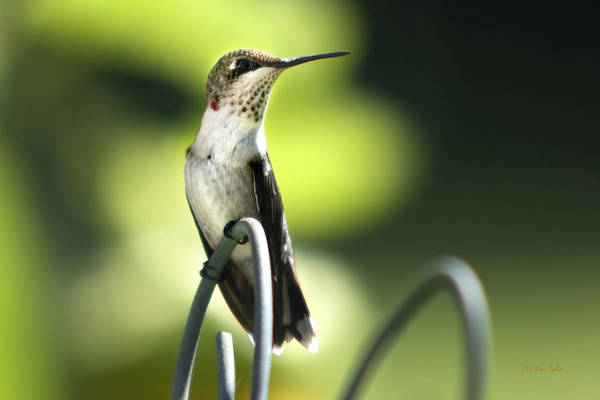 Hummingbird Poster featuring the photograph Ruby-throated Hummingbird by Christina Rollo