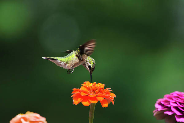 Hummingbird Poster featuring the photograph Ruby Throated Hummingbird Feeding On Orange Zinnia Flower by Christina Rollo