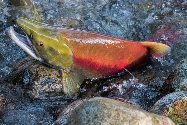 Salmon Poster featuring the photograph Salmon Spawning by Michele Broadfoot