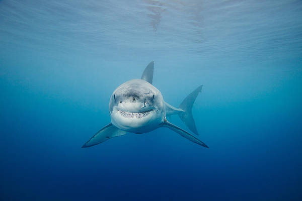 Animal Poster featuring the photograph Smiling Great White Shark by Dave Fleetham - Printscapes