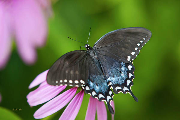 Black Butterfly Poster featuring the photograph Spice Of Life Butterfly by Christina Rollo
