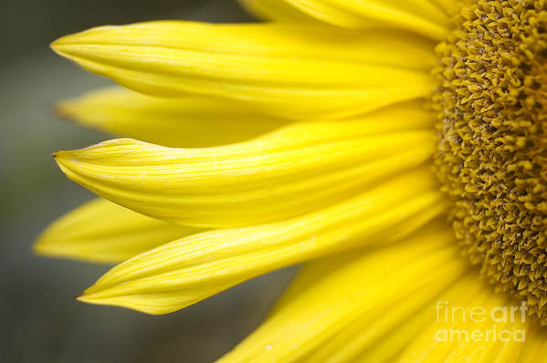 Abstract Poster featuring the photograph Sunflower by Mary Van de Ven - Printscapes