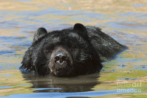 Bear Poster featuring the photograph Taking A Dip by Sandra Bronstein