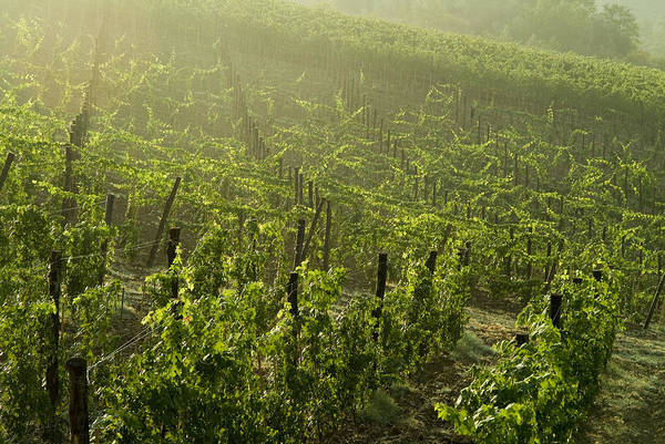 Photography Poster featuring the photograph Vineyards Shrouded In Fog by Todd Gipstein