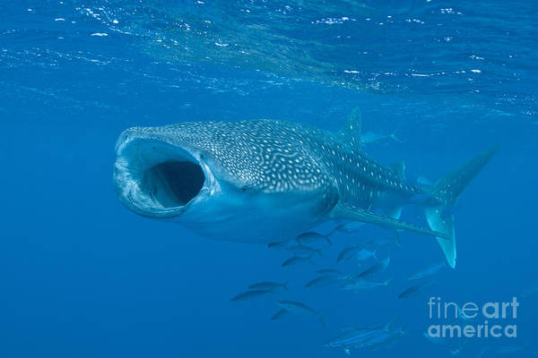 Maldives Poster featuring the photograph Whale Shark, Ari And Male Atoll by Mathieu Meur