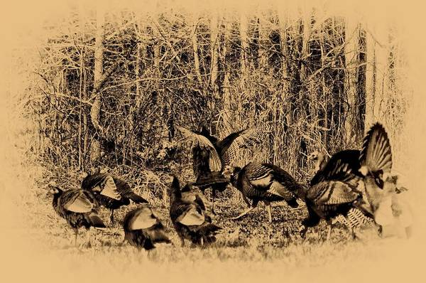 Wild Turkey Poster featuring the photograph Wild Turkeys by Bill Cannon