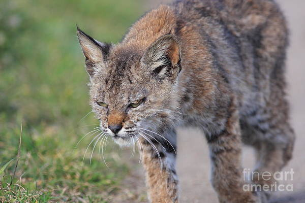 Animal Poster featuring the photograph Young Bobcat 03 by Wingsdomain Art and Photography