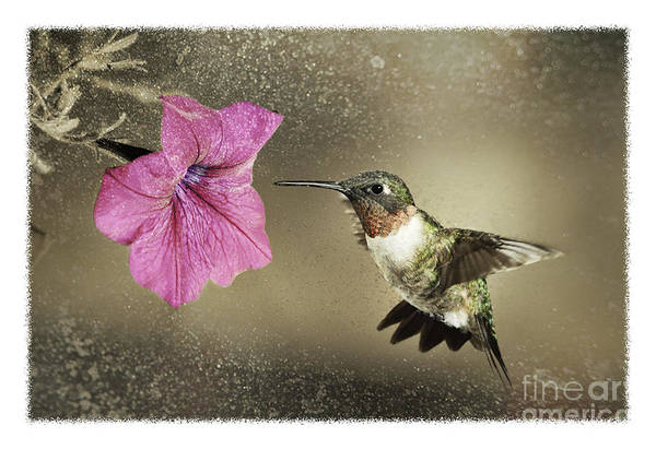 Ruby-throated Poster featuring the photograph Ruby - D004190 by Daniel Dempster