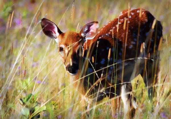 White Tail Deer Poster featuring the photograph Wary by Heather Applegate