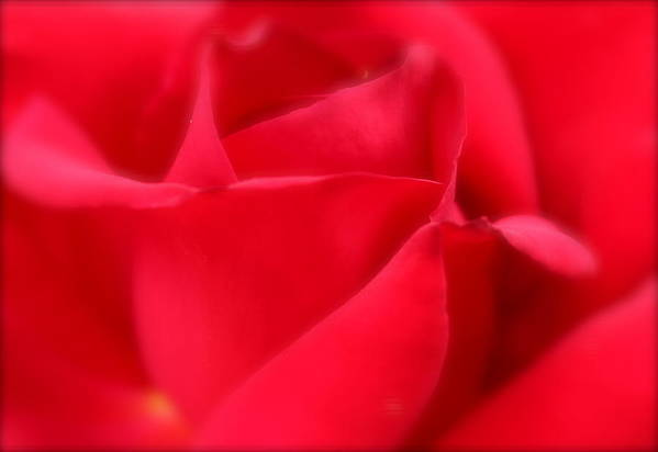 Soft Poster featuring the photograph Soft Red Rose by Kume Bryant