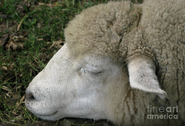 Sheep Poster featuring the photograph Sheep Sleep by Ann Horn