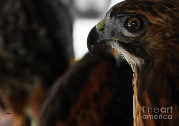 Hawk Poster featuring the photograph Hawk Eye by Steven Digman