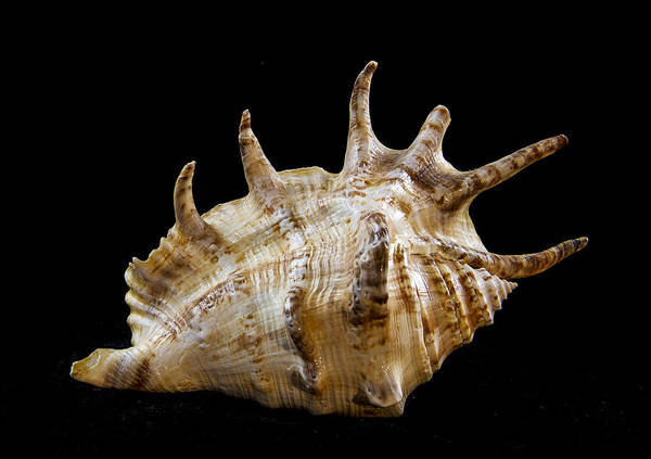 Shell Poster featuring the photograph Spikes Back Side by Jean Noren
