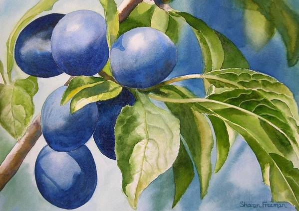 Plums Poster featuring the painting Damson Plums by Sharon Freeman