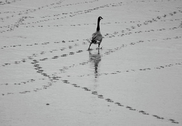Horizontal Poster featuring the photograph Geese by All copyrights reserved by Harris Hui