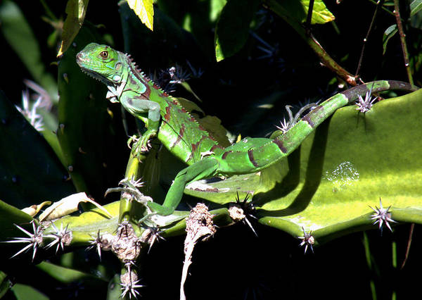 Lizards Poster featuring the photograph Leapin Lizards by Karen Wiles