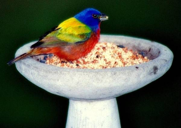 Birds Poster featuring the photograph My Painted Bunting by Karen Wiles