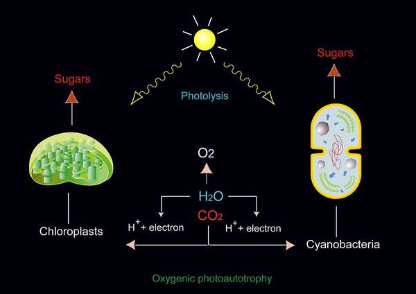 Chloroplast Poster featuring the photograph Photosynthesis, Artwork by Francis Leroy, Biocosmos