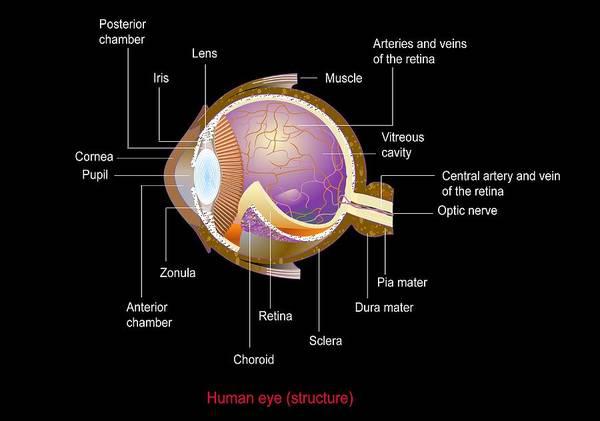 Eye Poster featuring the photograph Eye Anatomy,artwork by Francis Leroy, Biocosmos