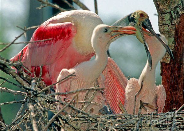 Fauna Poster featuring the photograph Roseate Spoonbill Feeding Young At Nest by Millard H. Sharp