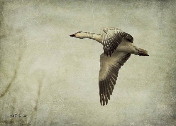 Goose Poster featuring the photograph Snow Goose In Flight by Jeff Swanson