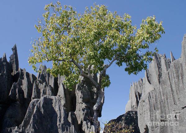 Prott Poster featuring the photograph Tree In The Tsingy De Bemaraha Madagascar by Rudi Prott
