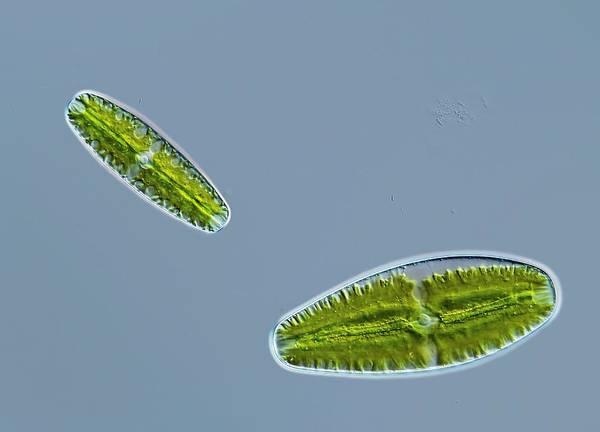 Netrium Digitus Poster featuring the photograph Green Alga, Light Micrograph by Gerd Guenther