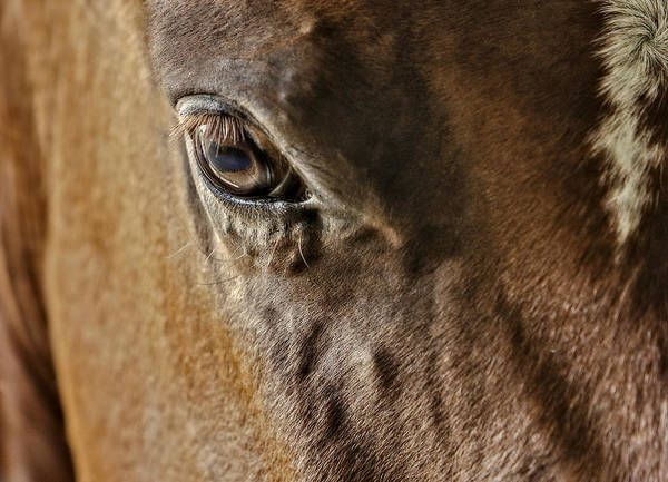 Horse Poster featuring the photograph Eye Of The Horse by Susan Candelario