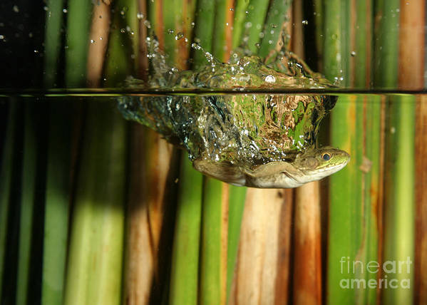 Animal Poster featuring the photograph Frog Jumps Into Water by Ted Kinsman