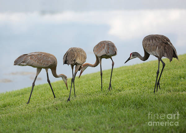 Sandhill Cranes Poster featuring the photograph Look What I Found by Carol Groenen