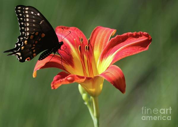 Butterfly Poster featuring the photograph Inviting by Sabrina L Ryan