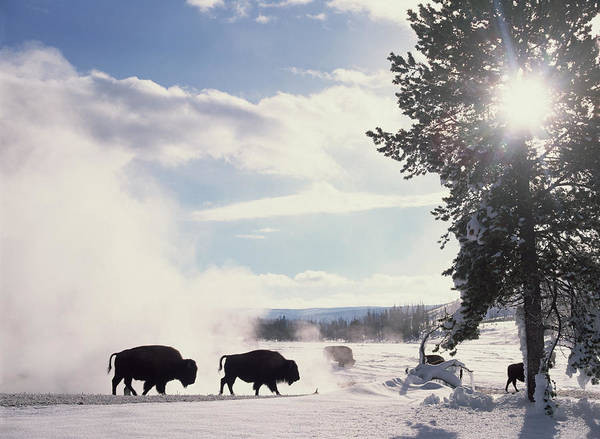 Mp Poster featuring the photograph American Bison In Winter by Tim Fitzharris