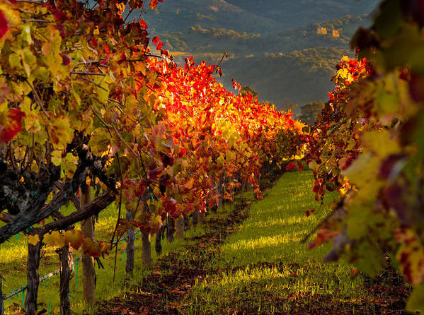 Napa Poster featuring the photograph Color On The Vine by Bill Gallagher