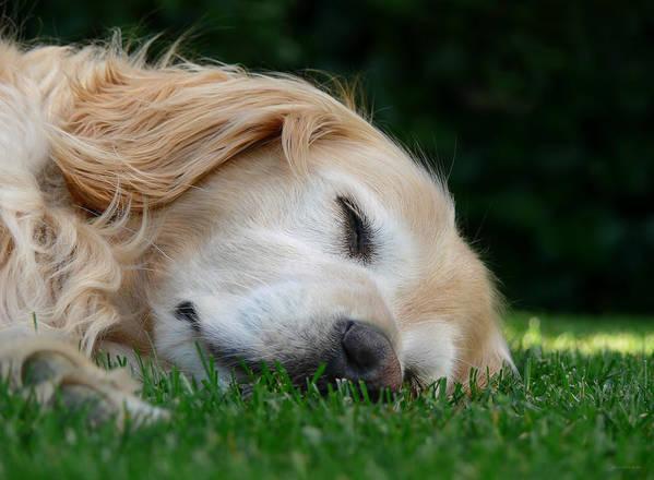 Golden Retriever Poster featuring the photograph Golden Retriever Dog Sweet Dreams by Jennie Marie Schell