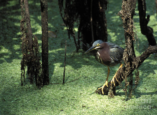 Birds Poster featuring the photograph Green Heron by Steven Ralser
