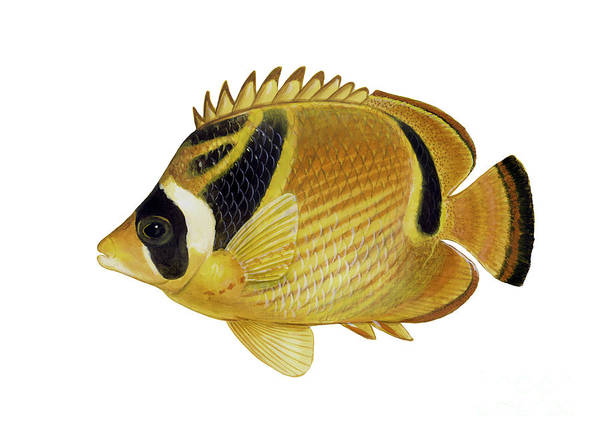 Tropical Fish Poster featuring the digital art Illustration Of A Raccoon Butterflyfish by Carlyn Iverson