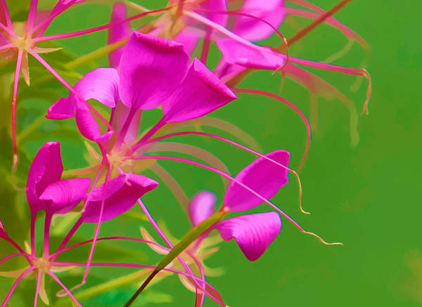 Cleome Poster featuring the photograph Pink Cleome Or Spider Flower by RM Vera
