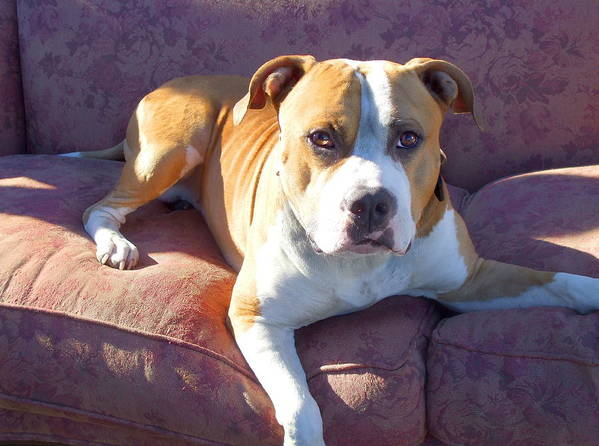 Pitbull Poster featuring the photograph Pitbull On A Couch by Ritmo Boxer Designs