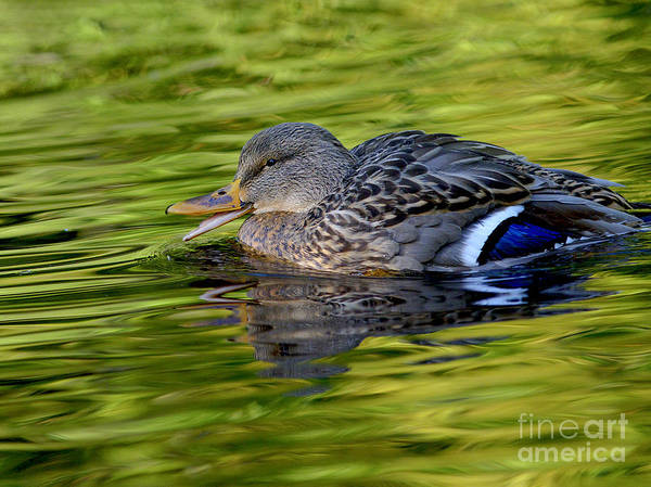 Mallard Poster featuring the photograph Quack by Sharon Talson
