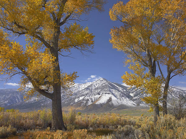 00175136 Poster featuring the photograph Cottonwood Trees Fall Foliage Carson by Tim Fitzharris